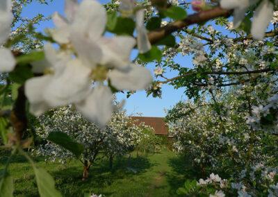 Apfelblüte auf dem Biohof Kepos